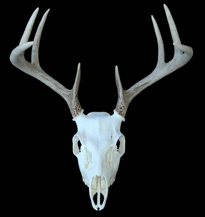European Mount Whitetail Deer