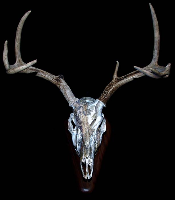 European Skull Mount Pricing